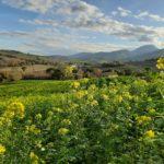 Soc. Agr. Terre Verdi - Cover crops in fioritura